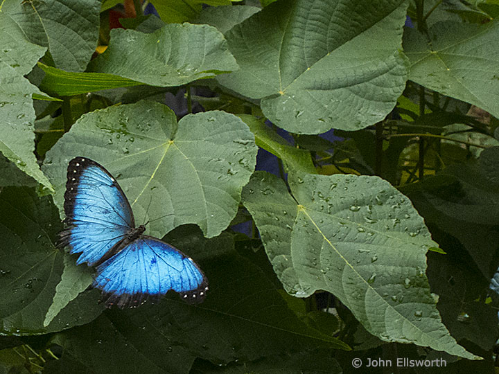 Blue Butterfly Blue Morpho John Ellsworth S Photo