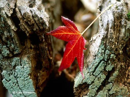leaf-lichen-h