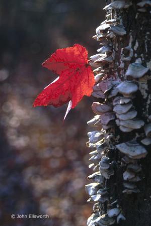 leaf-lichen-v